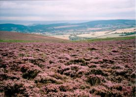 Heather in the moor